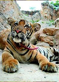 Thailand Tiger Temple, Kanchanaburi