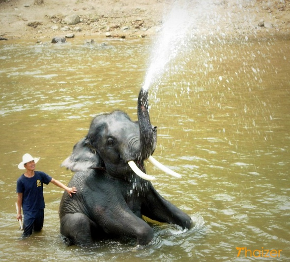 Thai elephant enjoying an afternoon soak in northern Thailand
