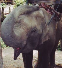 Thailand Asian elephant