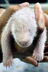 baby-panda-cub-chiang-mai-zoo