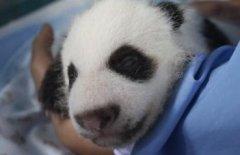 baby-panda-chiang-mai-zoo4a1