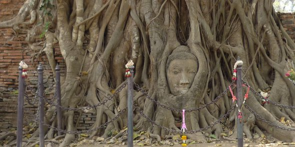 Ayutthaya stone Buddha head in tree roots