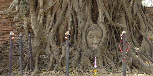 Ayutthaya stone Buddha head in tree roots
