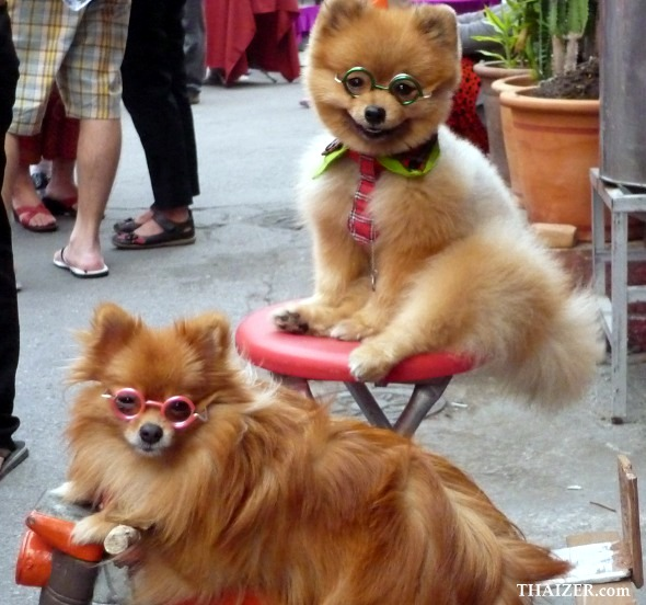 Dogs in glasses pose for photos at a market in Chiang Mai