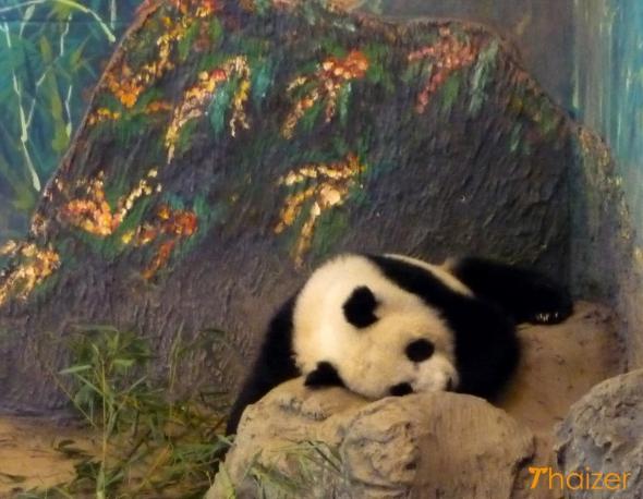 Lin Ping enjoying a nap at Chiang Mai zoo in January 2011