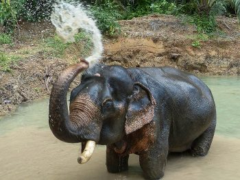 Somboon the elephant in Khao Sok, southern Thailand